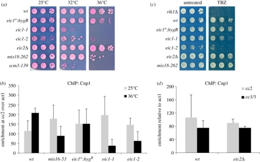Eic1 is required for Cnp1CENP-A assembly, while Eic2 is dispensable. (a) ts mutations in eic1 affect cell viability, while eic2Δ cells show no defects in growth. Five-fold serial dilutions of cells spotted on YES + Phloxine B media and incubated at the indicated temperatures; dead cells stain dark pink. (b) eic1 mutants display reduced Cnp1CENP-A levels at centromeres. qChIP analyses of Cnp1CENP-A association with centromeres in the indicated strains when grown at permissive (25°C) versus restrictive temperature (36°C) for 8 h. Enrichment of cc2 DNA relative to the act1 locus is presented. (c) eic1 mutants display sensitivity to TBZ, while eic2Δ cells show no TBZ sensitivity. Five-fold serial dilutions of cells spotted on YES media (untreated) or YES media supplemented with 12.5 μg ml−1 TBZ, and incubated at 25°C. (d) eic2Δ cells display no loss of Cnp1CENP-A at centromeres. qChIP analyses of Cnp1CENP-A association with centromeres in the indicated strains when grown at 32°C. Enrichment of cc2 or cc1/3 DNA relative to the act1 locus is presented. Error bars in (b,d) represent standard deviation between at least three biological replicates.