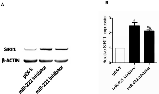 Effect of miR-221 inhibitor or miR-222 inhibitor on expression of SIRT1 protein.(A) Expression of SIRT1 protein levels in PC-3 cells after transfection were determined by Western blot analysis. (B) Quantitation of SIRT1 protein expression. Data represent the mean value ± SEM from three separate experiments. *P<0.05 vs pEX-5, ##P<0.01 vs pEX-5.