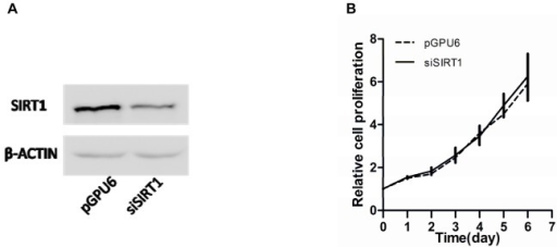 Effect of down-regulation of SIRT1 on PC-3 cell proliferation.(A) SIRT1 protein levels in PC-3 cells transfected with pGPU6 (empty vector plasmid) or siSIRT1 (pGPU6-si-SIRT1) by Western blot analysis. (B) Cell proliferation was quantitated using a CCK-8 assay. There were no significant differences between the two groups (P>0.05). Data represent the mean value ± SEM from three separate experiments.