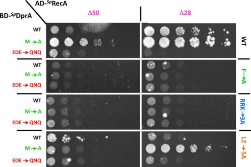 DprA−RecA interaction tests using Y2H assays. Yeasts expressing wild-type or mutant SpDprA as Gal4 binding domain fusion (BD-SpDprA) and variants of RecA as Gal4 activation domain fusions (AD-SpRecA) were spotted as a series of 1/5th dilutions on selective medium lacking histidine. Plates were incubated for 5 days at 28°C. The left column indicates the nature of DprA, the upper line defines the length of RecA and the right column shows its content in terms of mutations.