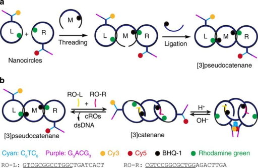 Schematic for the synthesis and programmable assembly of dsDNA [3]pseudocatenane.(a) The synthesized [3]pseudocatenane contains C-rich (cyan, C6TC6) and G-rich (purple, G3ACG3) branches. The rings L-M and M-R are held together by hybridization in short sections, to form the interlocked structure. (b) Addition of RO-L and RO-R (that is, ROs) triggers a structural conversion from [3]pseudocatenane to [3]catenane, where RO-L and RO-R (underlined: the active sequences) are hybridized with two gaps of ring M to displace L and R thereby allowing them to move freely. A bimolecular i-motif (cyan) can then form in the presence of H+, resulting in head-motif cyclization in the interlocked system.