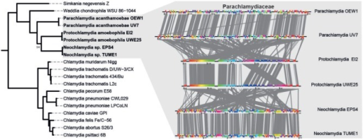 Phylogeny of the Chlamydiae and rearrangement history of genomes within the Parachlamydiaceae. Phylogeny of the Chlamydiae based on 32 phylogenetic marker proteins. A Bayesian analysis using MrBayes (Ronquist and Huelsenbeck 2003) was performed on a set of 24 ribosomal proteins in addition to GyrB, RecA, RpoB, RpoC, and EF-Tu from 19 sequenced members of the phylum (supplementary table S2, Supplementary Material online). Members of the Planctomycetes (Blastopirellula marina DSM 3645, Candidatus Kuenenia stuttgartiensis, and Gemmata obscuriglobus UQM 2246) and the Verrucomicrobia (Akkermansia muciniphila MucT, Lentisphaera araneosa HTCC2155, Opitutus terrae PB90-1, and Verrucomicrobium spinosum DSM 4136) were used as outgroups (not shown). Colors denote family level classification. Posterior probability scores are indicated only if below 100%. To the right, conserved synteny and rearrangement history of genomes within the Parachlamydiaceae are shown. The genomes of six members of the family were aligned using MAUVE to elucidate synteny between genomes and visualized using genoPlotR. Extensive rearrangements are apparent between members of different genera, whereas within genus, comparisons show little rearrangements, with a notable exception in the Protochlamydia where a large block has been rearranged.