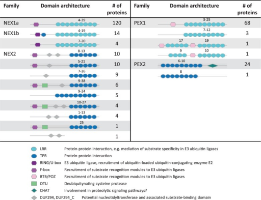 Protein domain architecture of largest gene families. The domain architecture of Neochlamydia (NEX1, NEX2) and Protochlamydia (PEX1, PEX2) gene families are shown. The range of the number of domain repeats and functional assignments of the detected domains are indicated. NEX1 can be divided into two subfamilies based on phylogeny and domain presence/absence. A role of these proteins in the context of eukaryotic cells can be postulated based on the presence of domains otherwise found in eukaryotes.