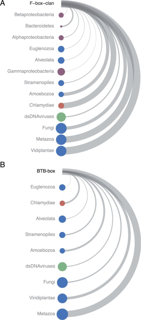 Taxonomic profile of F-box and BTB domains. The distribution of (A) the F-box clan, and (B) the BTB-box throughout sequenced organisms. The size of the node indicates the number of species harboring proteins with the domain. Thus, larger node size indicates a larger number of species in which a domain is found within a taxon. Nodes are ordered from least to greatest by the total number of proteins that contain the domain within the taxon. This is different than the number of species as one species can have many proteins harboring a given domain. To reflect this disparity and to facilitate comparisons, we computed a normalized value for each taxon that represents the number of total proteins divided by the number of species. This normalization value is represented by the width of the arc in the diagram. For instance, the chlamydiae are represented by few species (small node size) but are among the taxa containing the largest numbers of proteins with F-Box and BTB domains (position on vertical axis) and show a high number of proteins with these domains per species (arc width). All bacterial taxa are plotted in purple and selected major eukaryotic taxa in blue. The Chlamydiae are labeled in red, and double-stranded DNA viruses are shown in green. The data were obtained from the Pfam database for each domain, and counts were updated to reflect findings in this study.