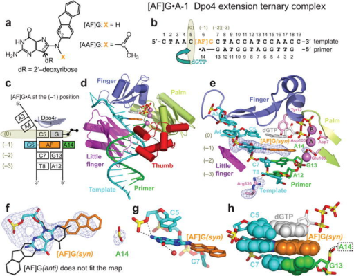 Structure of the [AF]G•A-1 Dpo4 extension ternary complex. (a) Chemical formula of 2-aminofluorene-C8-guanine, [AF]G, and 2-acetylaminofluorene-C8-guanine, [AAF]G, adducts. (b) Schematic of the expected pairing of the [AF]G-modified 19-mer template with the 13-mer primer, ending with a 2′,3′-dideoxy-A, and dGTP in the extension ternary complex with Dpo4. The insertion position at the Dpo4 active site is denoted by (0), and the post-insertion position is denoted by (–1). (c) Schematic of the observed base pairing arrangement within the Dpo4 active site. (d) Overall structure of the [AF]G•A-1 complex. (e) Structure of the active site of the [AF]G•A-1 complex. [AF]G(syn) at the (–1) position is opposite disordered 3′-terminal A14 base of the primer strand. The next template base C5 is paired with an incoming dGTP at the (0) position of the active site. The first Ca2+, cation A, is coordinated by invariant D7, D105, and E106 residues. The second Ca2+, cation B, is chelated by the phosphate groups of the incoming dGTP. Simulated annealing Fo-Fc omit map contoured at 3σ level and colored in blue (2.96 Å resolution) is shown for [AF]G, A14 and Arg336 residues. (f) [AF]G(syn) opposite A14 of the primer strand. [AF]G in the anti conformation (black lines) does not fit the map. Only the phosphate group of A14 has well-ordered density. (g) The N2 group of modified-G(syn) forms hydrogen bonds with the phosphate oxygens of C5. (h) Base stacking arrangement of the [AF]G(syn) and neighboring base pairs. The intercalated AF-moiety leaves no room for the disordered base of A14 within the template/primer helix.