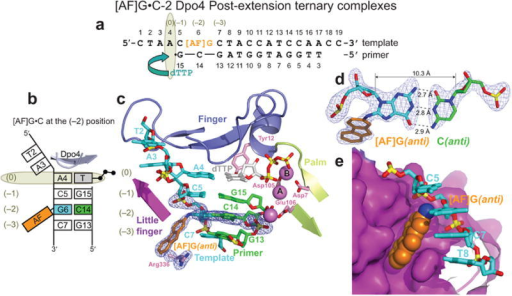 Structure of the [AF]G•C-2 Dpo4 post-extension ternary complex. (a) Schematic of the expected pairing of the [AF]G-template with the 13-mer primer, ending with a 2′,3′-dideoxy-G, and added dTTP. (b) Schematic of the observed base pairing arrangement within the Dpo4 active site. (c) Structure of the active site. Simulated annealing Fo-Fc omit map contoured at 3σ level is colored in blue (2.0 Å resolution). (d) Watson-Crick base pair between the [AF]G(anti) and C14(anti) at the (–2) position. (e) Accommodation of the AF-moiety in a pocket on the surface of the little finger domain.