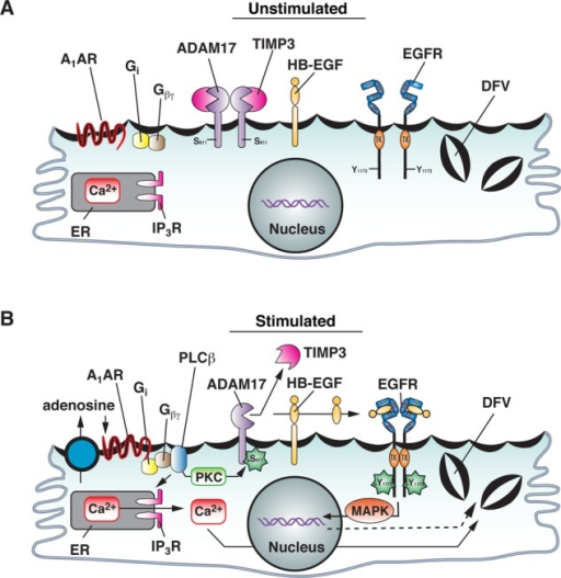 Model for function of ADAM17 Ser-811 phosphorylation in A1AR-stimulated EGFR transactivation and exocytosis. See the text for description.
