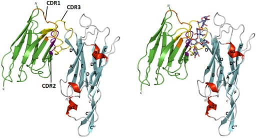 NbFedF9 inhibits the binding of F18 fimbriated E. coli to piglet enterocytes by occupying the carbohydrate binding site on the FedF surface.Left: structure of the complex between the inhibitory NbFedF9 (green) and FedF15–165 (β-strands, α-helices and loops are colored respectively cyan, red and grey), which shows NbFedF9 interacting at the side of the FedF fold. The three complementary determining regions (CDRs) of NbFedF9 are colored respectively in orange, purple and yellow. Right: overlay of the NbFedF9-FedF15–165 structure with the previously elucidated structure of the co-complex between FedF15-165 and the blood group A type 1 hexasaccharide [17]. Both the carbohydrate ligand and NbFedF9 compete for the same binding site on the FedF fold. Blood group A type 1 hexasaccharide is depicted in stick model with carbon, oxygen and nitrogen atoms colored respectively purple, red and blue.