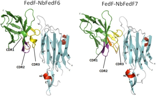 Overview of the binding of inhibitory nanobodies NbFedF6 and NbFedF7 on the surface of the F18 fimbrial adhesin FedF.Nanobodies NbFedF6 and NbFedF7 (green) are interacting with a near identical epitope at the interface of the two β-sheets that make up the immunoglobulin-like fold of FedF15–165 (β-strands, α-helices and loops are colored respectively cyan, red and grey). The three complementary determining regions (CDRs) are colored respectively in orange, purple and yellow.