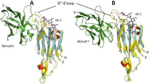 Conformational change induced inhibition of adhesion by nanobodies NbFedF6 and NbFedF7.Superimposition of the FedF-blood group A type 1 hexasaccharide (A6-1) co-complex structure (colored yellow) with the co-complex structures of FedF-NbFedF6 (A) and FedF-NbFedF7 (B) (β-strands, α-helices and loops are colored respectively cyan, red and grey). Both NbFedF6 and NbFedF7 induce a conformational change in the D″-E loop that is protruding from the FedF surface thereby reorienting the loop outwards from the A6-1 binding site. A6-1 is depicted in stick model with carbon, oxygen and nitrogen atoms colored respectively purple, red and blue.