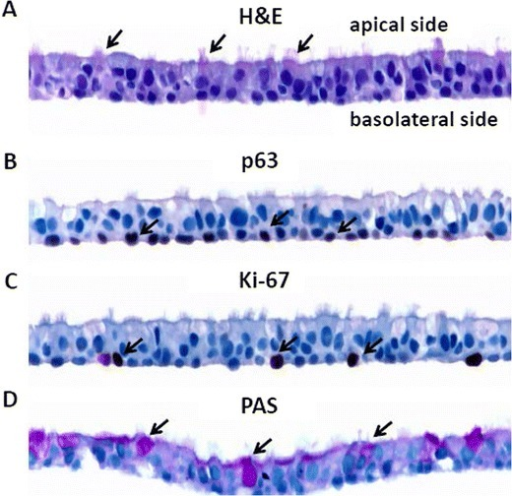 Morphological characterization of ALI human airway cultures. ALI cultures were fixed in 10% formalin 5 weeks after the initial seeding onto the permeable membrane support. Tissue sections were stained with H&E (A), p63 (B), Ki67 (C), and PAS (D). Examples of positively stained cells are indicated by arrows. The arrows in (A), (B), (C), and (D) indicate ciliated cells, basal cells, actively proliferating cells, and goblet cells, respectively.