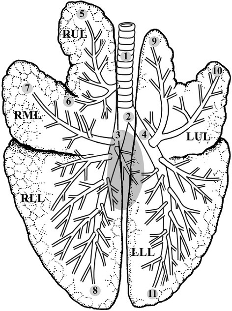 Bronchopulmonary anatomy of the pig lung. The numbers f | Open-i