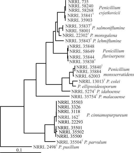 Phylogenetic tree of section Cinnamopurpurea.Fully resolved phylogenetic tree based on combined sequence data from BT2, CF, Mcm7, RPB2 and Tsr1, computed with maximum likelihood in Mega. In the bootstrap, all nodes were above 95%, except the P. fluviserpens subclade NRRL 35844, NRRL 58649 77%; P. cinnamopurpureum subclade NRRL 35501-NRRL 35502 55%; and P. cinnamopurpureum subclade NRRL 162-NRRL 3118-NRRL 3326-NRRL 35503 64%). Outgroup chosen based on prior work [27]. P. ellipsoideosporum is represented only by sequences obtained from GenBank.