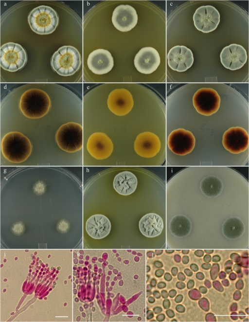 Penicillium colei.14 day old colonies grown on: a. CYA, b. MEA, c. PDA. d. CYA reverse, e. MEA reverse, f. PDA reverse, g. CY20S, h. CYAS, i. OA. j. Stipes showing typical branching pattern, k. Penicillus with unusual multi-cell phialides, l. Conidia, small size is common, larger spores are also usually present. Bar = 10 μm.