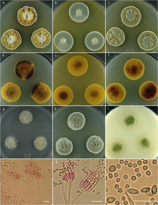Penicillium monsserratidens.14 day old colonies grown on: a. CYA, b. MEA, c. PDA. d. CYA reverse, e. MEA reverse, f. PDA reverse, g. CY20S, h. CYAS, i. OA. j. Branching pattern of penicillus. k. Phialides and bulbous subtending cell. l. Distinctly different size and shapes of conidia, the smaller subglobose-globose cells are most common. Bar = 10 μm.