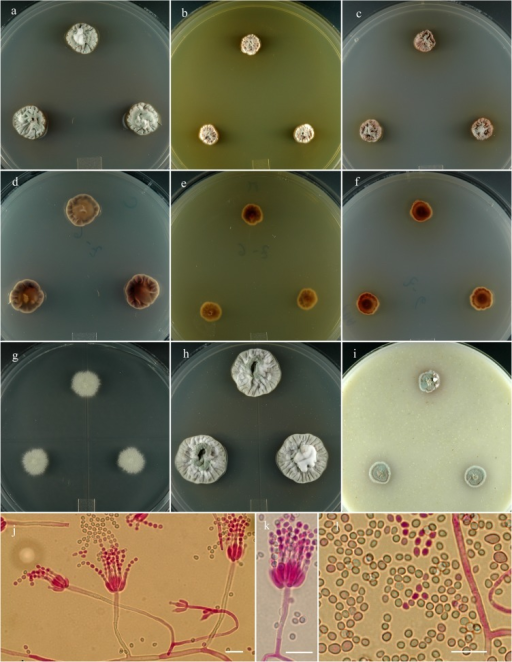 Penicillium salmoniflumine.14 day old colonies grown on: a. CYA, b. MEA, c. PDA. d. CYA reverse, e. MEA reverse, f. PDA reverse, g. CY20S, h. CYAS, i. OA. j. Branching pattern of penicillus. k. Detail of phialides and stipes. l. Conidia in two size classes. Bar = 10 μm.