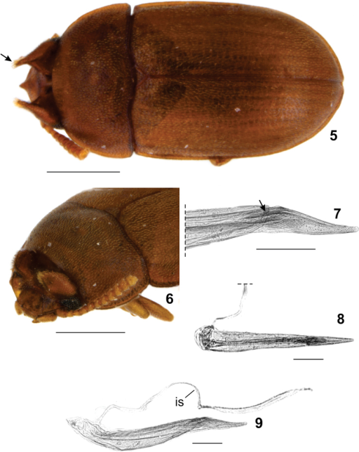 Neomidasuilla male. 5 Dorsal view, tuft of bristles on horn tip (arrow) 6 diagonal view of head 7 Detail of aedeagus apicale showing the ala (arrow) 8 Ventral view of aedeagus 9 Lateral view of aedeagus. is – internal sac. Scale bars: 0.5 mm (Figs 5–6), 0.1 mm (Figs 7–9).