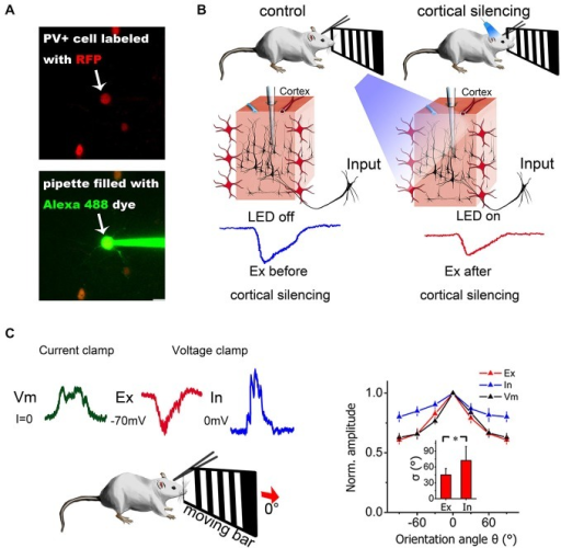 Combination of in vivo patch-clamp recording and other techniques. (A) Two-photon guided patch clamp can target specific neurons using fluorescent guidance. RFP, red fluorescent protein. Alexa 488, a green fluorescent dye widely used for two-photon imaging. (B) Optogenetic manipulation of neural circuits can isolate different sources of excitation. Blue light can activate ChR2-expressing PV+ inhibitory neurons in the visual cortex (red neurons) and silence cortical excitatory neurons. Then, the excitatory contribution from the thalamus only (thalamic EPSCs) can be isolated from the mixed input (thalamic + intracortical). Modified from Lien and Scanziani (2013), with permission. (C) Current-clamp and voltage-clamp recordings made from the same neuron in a living mouse. Current-clamp mode can record membrane potential changes and voltage-clamp mode can dissect synaptic currents into excitatory and inhibitory components by holding the cell membrane potential at different levels. The synaptic contributions to orientation selectivity can then be compared and quantified. The right panel depicts the orientation tuning curve for excitatory input (Ex), inhibitory input (In) and membrane potential (Vm). Error bar = SEM. The tuning width (delta) is denoted in the inset. *p < 0.01, paired t-test. Modified from Liu et al. (2011), with permission.