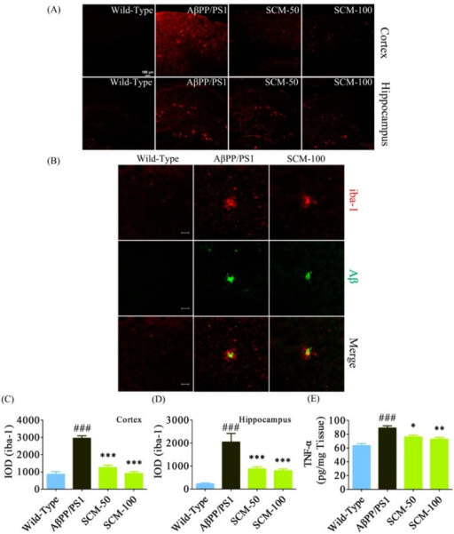 SCM-198 alleviated excessive microglial activation and decreased TNF-α levels in AβPP/PS1 mice. Wild-type and AβPP/PS1 mice began receiving different treatments at 6 months of age and were fed continuously for 3 months. Microgliosis was visualized by fluorescent immunostaining after behavioral tests. (A) Cortical (upper panel) and hippocampal (lower panel) microglia were stained using goat polyclonal anti-iba-1antibody (red; scale bar, 100 μm) and were observed using a confocal microscope; (B) Representative confocal images of microglia (iba-1; red) and senile plaques (Aβ; green) in 9-month-old AβPP/PS1 mice (scale bar, 20 μm); (C) Integrated optical density (IOD) of cortical iba-1 staining (n = 6 mice/group); (D) IOD of hippocampal iba-1staining (n = 6 mice/group); (E) Cortical tumor necrosis factor-α (TNF-α) was measured with commercial ELISA kits (n = 6 mice/group). Data represent mean ± SEM. * p < 0.05, ** p < 0.01, *** p < 0.001, Tukey's test vs. AβPP/PS1 group; ### p < 0.001, Tukey's test vs. wild-type group.