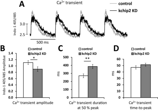 KChIP2 knock down reduces Ca2+ transient amplitude.(A) Representative Ca2+ transient recordings taken from isolated adult guinea pig myocytes loaded with Indo-1 and paced at a 500 ms cycle length. Recordings were taken following 24 hrs treatment with an adenovirus encoding GFP (control, n = 17) or an mRNA antisense sequence for KChIP2 (Ad.KChIP2 KD, n = 17). Summary data for the (B) Ca2+ transient amplitude, (C) Ca2+ transient duration at 50% peak amplitude, and (D) the transient time-to-peak. Data presented as mean ± SEM; *P < 0.05, **P < 0.01; two-tailed Student's t-test.