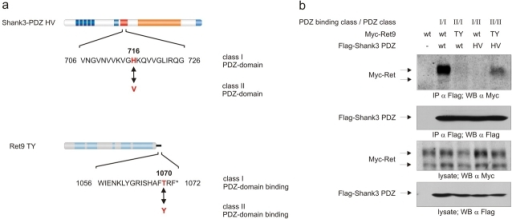 PDZ class-switch experiment. (a) Schematic representation of the PDZ class-switch mutants in Ret9 and Shank3. (b) Coimmunoprecipitation of Ret9 and Shank3 and their mutants. Flag-tagged Shank3–PDZ and Myc-tagged Ret9 were coexpressed in HEK293 cells, and Shank3–PDZ was precipitated using Flag–M2 Sepharose followed by SDS-PAGE and Western blotting with anti-Myc or anti-Flag tag antibodies. The Ret PDZ-binding class and the Shank3 PDZ domain class are indicated.