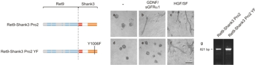 Grb2 binding to Shank3 is required for tubule formation. MDCK cells expressing either Ret9–Shank3–Pro2 (a–c) or Ret–Shank3–Pro2 containing the Y1006F mutation (d–f) were examined for tubulogenesis in three-dimensional collagen matrices. After stimulation with GDNF–sGFRα1 or HGF/SF, cell cultures were fixed and photographed. Bar in f: 200 μm (applies to a–f). (g) Expression of the indicated cDNA constructs shown by RT-PCR.
