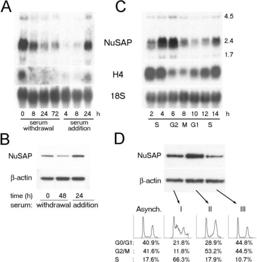 NuSAP expression is up-regulated in proliferating cells during G2/M phase of the cell cycle. (A–D) Northern and Western blot analysis for NuSAP expression in synchronized MC3T3E1 cells. RNA or protein was isolated at the indicated time points (h). (A and B) Cells were arrested in their growth by serum starvation, and subsequently released by addition of complete medium. (C and D) Cells were synchronized using a double-thymidine block. (D) DNA content of thymidine-synchronized cells was determined by FACS® analysis at time points I–III. (A and C) Northern blots were also probed for histone H4 expression, an S phase marker. NuSAP transcript sizes (kb) are indicated. As a loading control, blots were probed for 18S or β-actin expression.