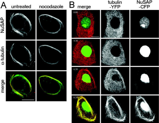 Overexpression of NuSAP caused bundling of cytoplasmic microtubules. (A) Myc-tagged full-length NuSAP was analyzed in interphase COS1 cells 24 h after transfection. Cells were fixed in glutaraldehyde and double stained for Myc-tagged NuSAP and α-tubulin. NuSAP overexpression induces microtubule bundles that resist nocodazole treatment. (B) Time-lapse microscopy of a PtK2 cell stably expressing YFP-tagged α-tubulin and transiently expressing CFP-tagged NuSAP. NuSAP overexpression leads to a cytoplasmic pool of NuSAP with subsequent bundling of microtubules. Time is h:min. Bars: (A and B) 10 μm.