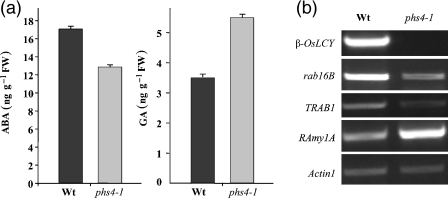 Hormone contents and expression of hormone-regulated genes. (a) ABA and GA content in wild-type and β-Oslcy seeds at 30 days after pollination (DAP). (b) Expression of rab16B (LEA protein gene), TRAB1 (a bZIP factor gene) and RAmy1A (α-amylase gene) genes in wild-type and β-Oslcy seeds at 30 DAP.