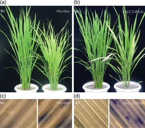 Photobleaching phenotype (a, b) and the detection of ROS (c, d) of Oscrtiso and β-LCY-RNAi plants and the corresponding wild types.