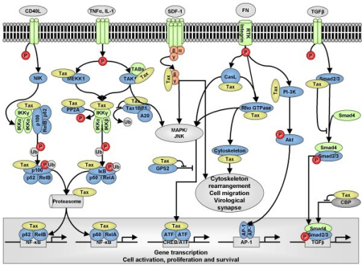Overview of cell signaling proteins targeted by Tax1. Tax1 interacts with components of several signaling pathways (MAPK, JNK, NF-κB, AP-1 and TGF-β) and promotes cellular activation, proliferation, cytoskeleton rearrangement, cell migration and formation of the virological synapse.