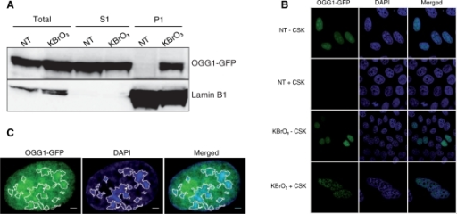 After KBrO3 OGG1 is relocalized to foci resistant to detergent-containing buffer. (A) Subcellular fractionation of NT and KBrO3-treated OGG1–GFP cells. Cells were separated into fractions S1 (soluble proteins) and P1 (chromatin fraction) and different fractions analysed by western blot using an anti-GFP antibody. Lamin B1 was used as a loading control. (B) Distribution patterns of OGG1–GFP in NT and KBrO3-treated cells. Prior to fixation, soluble proteins were removed with CSK-0.5% triton when indicated. (C) NT cells expressing OGG1–GFP were directly fixed, DAPI stained and analysed by confocal microscopy. DAPI staining was used to define heterochromatin regions (white outlines). Scale bars, 2 µm.