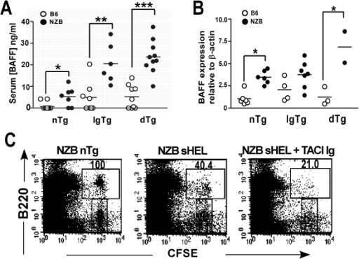 Elevated BAFF levels in NZB mice enhance survival of transferred NZB dTg B cells.(A) Serum BAFF levels in 6–12 wk old non-Tg (nTg), IgTg and dTg, B6 and NZB mice. (B) Baff mRNA expression in the splenocytes of 8–14 wk old non-Tg (nTg), IgTg and dTg, B6 and NZB mice. Horizontal lines represent the mean for each group examined. Significant p values for the difference between B6 and NZB mice are shown and were determined by one way ANOVA test (Kruskal-Wallis test) followed by Dunns' post test. (C) NZB sHEL recipient mice were injected with TACI-Ig or PBS alone, 1 d before transfer of CFSE-labelled NZB dTg B cells. Splenocytes were analyzed 3 d later by flow cytometry. Numbers indicate the percentage of surviving cells, determined by the ratio of CFSE+ B220+ cells to CFSE+B220- cells as compared to a NZB non-Tg control. Asterisks indicate the significance level for comparison between B6 and NZB mice as determined by the Mann-Whitney test: * p<0.05, ** p<0.005, *** p<0.0005.