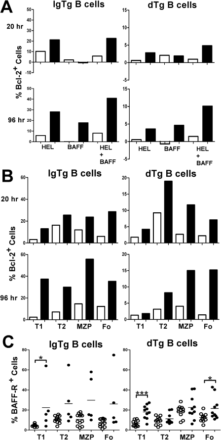 Heightened survival response of NZB dTg B cells to BAFF in-vitro.(A) Up-regulation of Bcl-2 in NZB IgTg and dTg B cells. B cells isolated from B6 (open bars) or NZB (filled bars) IgTg or dTg mice were incubated with media alone or media containing HEL (100 ng/ml), BAFF (40 ng/ml), or a combination of both, for 20 or 96 h at 37°C. The percent Bcl-2 positive cells was determined by flow cytometry gating on the B220+ population. Results shown are for a single mouse from each strain and are representative experiment of four independent experiments in which a total of 2 nTg, 5 IgTg, 7 dTg B6 mice, and 3 nTg, 6 IgTg, 4 dTg NZB mice were examined. (B) Enhanced expression of Bcl-2 in all B cell subsets of NZB IgTg or dTg B cells after incubation with HEL and BAFF. Cells were isolated and incubated for 96 h at 37°C, as outlined in (A). The percent Bcl-2 positive cells was determined by flow cytometry gating on the B220+ population and using CD21 and CD24 antibodies to subset B cells, as shown in Table 1. (C) Scatterplots showing the proportion of BAFF-R+ cells in various B cell subsets in B6 (open circles) and NZB (closed circles), IgTg and dTg mice, gated as in (B). Background staining with a relevant isotype control was extremely low, and similar in B6 and NZB mice. Asterisks indicate the significance level for comparison between B6 and NZB mice as determined by the Mann-Whitney test: * p<0.05, ** p<0.005, *** p<0.0005.