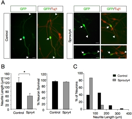Sprouty4 inhibits neurite outgrowth of dorsal root ganglion neurons (DRG) in response to NGF.A) Dissociated DRG neurons transfected with GFP in the absence (Control) or in the presence of an excess of Myc-tagged Sprouty4 (Spry4) construct were cultured with NGF (50 ng/ml). After 36 h in culture, neurons were fixed and stained with anti–tubulin antibodies. Scale bar represents 20 m. Arrows indicate neuronal cell bodies and arrowheads denote neurite tips. B) Left panel, histogram showing the inhibition of neurite outgrowth in DRG neurons by exogenous expression of Sprouty4. The results are averages SEM of a representative experiment measured in six wells per experimental group, *, p<0.05 (Student's t test). The experiment was repeated three times with similar results. Right panel, histogram showing the survival of DRG neurons by exogenous expression of Sprouty4. Neuronal survival was evaluated using the nuclear staining DAPI. GFP-positive neurons containing fragmented or condensed nuclear staining were scored as apoptotic cells. The results are averages SEM of a representative experiment performed in triplicate. C) Histogram shows the distribution of neurons carrying neurites in different length categories after transfection with GFP in the absence (Control) or in the presence of Myc-tagged Sprouty4. A total of 43 control- and 40 Sprouty4-transfected neurons from a representative assay were evaluated. Note the noticeable shift to the left of the distribution of neurons that received the Sprouty4 construct.