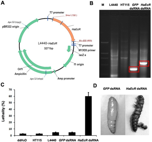 Ingestion of bacterial-expressed HaEcR dsRNA results in molting defects and lethality in H. armigera larvae.(A) The L4440-HaEcR construct producing HaEcR dsRNA in E. coli HT115. (B) Expression of HaEcR dsRNA was confirmed by electrophoresis on 1% agarose gel. (C) Ingestion of bacterial-expressed HaEcR dsRNA caused up to 60% larval lethality in H. armigera. (D) Some H. armigera larvae died as larval-pupal intermediates.