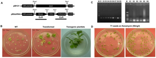 Generation of transgenic tobacco plants producing HaEcR dsRNA and GFP dsRNA.(A) pBI121-dsEcR: the constructed pBI121 vector expressing hairpin HaEcR dsRNA in transgenic tobacco plants. See details in materials and methods. (B) Transgenic tobacco plants expressing dsRNAs were obtained using the standard procedure. (C)Independently derived transgenic lines (E1–E9 for HaEcR dsRNA; G1–G6 for GFP dsRNA) were analyzed by PCR amplifications of the genomic DNA. (D) Homologous transgenic tobacco plants were selected by kanamycin after three progenies. See details in materials and methods.