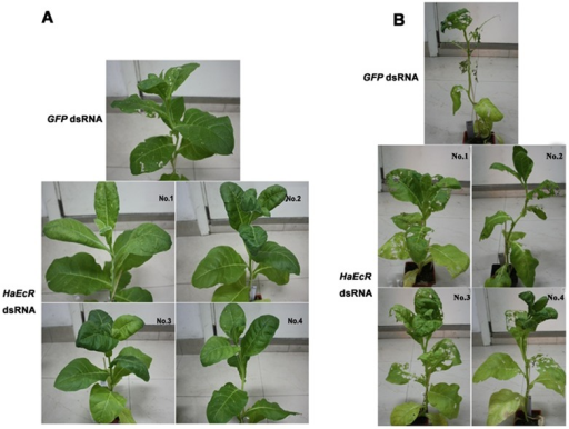 Resistance to H. armigera is improved in transgenic tobacco plants expressing HaEcR dsRNA.One transgenic tobacco plant expressing GFP dsRNA was used as a control, and 4 different transgenic tobacco plants expressing HaEcR dsRNA were used as experimental groups. Similar sizes of ∼45-day-old homozygous transgenic plants and day 1 of 2nd instar larvae were utilized in the bioassay. Thirty H. armigera larvae were randomly released on the top mature leaves to evaluate dsRNA effects of the whole transgenic plants. After 1 week of feeding, transgenic tobacco plants expressing HaEcR dsRNA exhibited higher resistance to H. armigera than the control (A). After 3 weeks of feeding, the transgenic tobacco plants expressing HaEcR dsRNA are much less damaged (B).