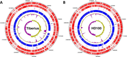 Whole genome comparison of the B. bacteriovorus Tiberius and HD100 strains. DNAplotter[16] was used to compare the genomes of the (A) Tiberius and (B) HD100 strains. The circles represent (from outer to inner): CDS on plus strand; CDS on minus strand; tRNAs (pink) and rRNA operons (navy); regions of homology between the two genomes (blue); % GC plot (yellow=above average, purple=below average); and GC skew ([G-C]/[G+C]).