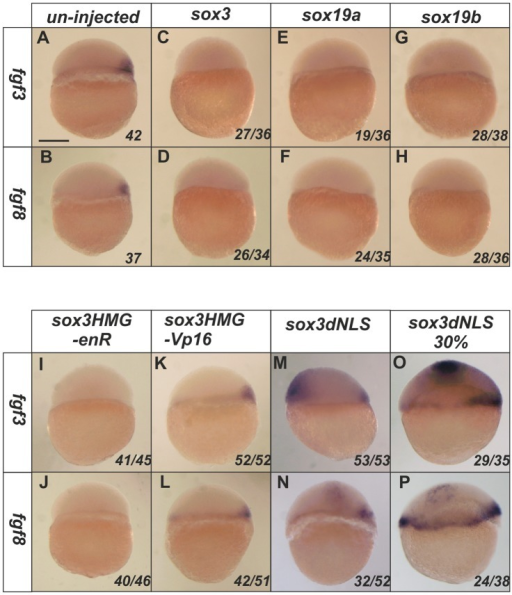 SoxB1 factors acts as transcriptional repressors to inhibit the expression of fgf3 and fgf8.At 4.5 hpf, the expression of fgf3 and fgf8 is restricted in the dorsal shield region of un-injected embryos (A–B). Injection of sox3, sox19a or sox19b RNA at the 1–2 cell stage caused complete loss of expression of both fgf3 and fgf8 at 4.5 hpf (C–H). A Sox3HMG-EnR (I,J) but not a Sox3HMG-VP16 (K,L) fusion mimicked the function of wild-type Sox3 to inhibit fgf3 and fgf8 expression. Ectopic expression of fgf3 and fgf8 was induced by the dnSox3 construct injected at the 1–2 cell stage and analysed at 4.5 hpf (M,N) or later at 30% epiboly (5.5 hpf) (O,P). All images are lateral views with dorsal to the right (where this can be determined). The proportion of embryos exhibiting these phenotypes is shown at the bottom right of each panel. Scale bar in panel A represents approximately 100 µm.