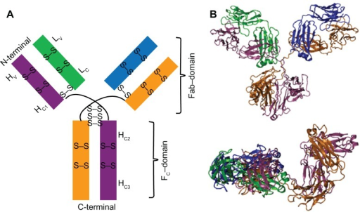 Schematic representation (A) and minimized conformation (B) of the structure of IgG1.Notes: Two heavy (H) and two light (L) chains are shown by mauve, orange and green, blue, respectively. The H-chains are composed of one variable domain (HV) and three constant domains (HC1, HC2, HC3); L-chains are composed of one variable domain (LV) and one constant domain (LC), respectively. Minimized conformation of IgG1 is shown with face (top) and side (bottom) views in (B).Abbreviations: H, heavy chain; L, light chain; C, constant domain; V, variable; Fab, fragment antigen-binding; Fc, fragment crystallizable; S, sulfur atom.