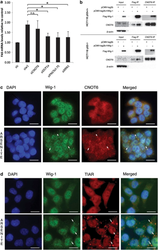 Wig-1 interacts with deadenylase subunit CNOT6. Knockdown of the key components of the ARE-mediated mRNA decay pathway CNOT6, DCP1a, PM/Scl-75 and XRN1 was performed in HCT116 p53−/− cells, and the levels of FAS mRNA were assessed through qRT–PCR and compared with levels upon Wig-1 depletion. The figure shows that FAS mRNA levels are increased in a comparable manner following knockdown of CNOT6 or Wig-1 (no significant difference), suggesting that the Wig-1 effect on FAS mRNA is exerted at the level of poly(A) tail deadenylation (a). Protein lysates from HCT116 p53+/+ or HCT116 p53−/− cells transfected with pCMVtag2b or pCMVtag2bhWig-1 were immunoprecipitated with a Flag antibody or CNOT6 antibody cross-linked to Dynabeads Protein G, followed by western blotting with indicated antibodies (b). Coimmunostaining of endogenous Wig-1 (green) and CNOT6 (red) (c) and Wig-1 (green) and SGs marker TIAR (red) (d) in HCT116 p53+/+ cells after 30 min of treatment with 0.5 mM arsenite shows colocalization in cytoplasmic SGs. Arrows indicate the positions of overlapping Wig-1 and CNOT6 foci or Wig-1 and TIAR. Scale bars, 20 μm. DAPI shows DNA staining.