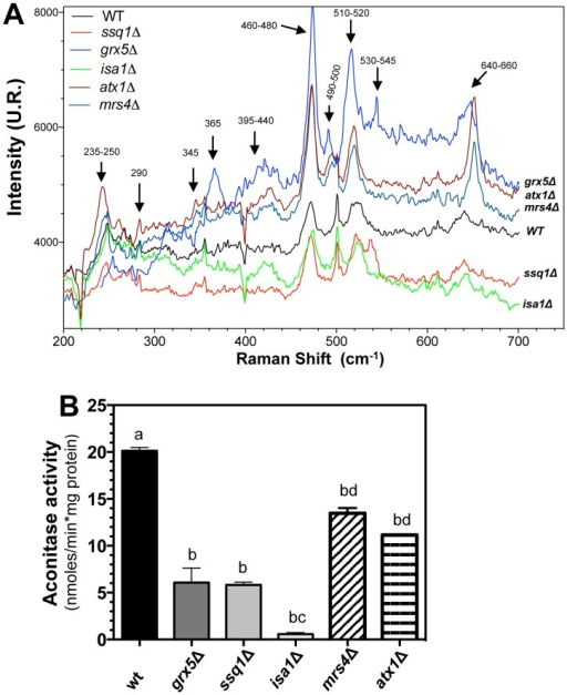 Analysis of mitochondrial Fe–S-containing proteins in S. cerevisiae ISC mutants.Cell extracts of yeast cultures grown in YPD to the late exponential growth phase were used to isolate mitochondria, as described in the Materials and Methods section. A) Raman scattering spectra of the mitochondria isolated from S. cerevisiae ISC mutants. Raman spectra were recorded at a laser excitation of 632.8 nm with 30 mW. Each spectrum is the average of scans recorded over 60 sec, using photon counting at 0.5 cm−1 increment spectral resolution. Bands corresponding to the [2Fe–2S] and [4Fe–4S] clusters are indicated with arrows [26]. B) Enzymatic activity of cis-aconitase was determined in mitochondrial suspensions as described in the Materials and Methods. Values are the mean of three independent experiments. SE values are indicated as bars (n = 3), one-way ANOVA with Tukey's post-hoc test was used to compare yeast strains, and significant differences (p<0.05) are indicated with different lowercase letters.