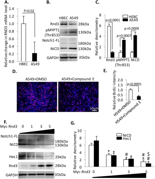 Rnd3 regulates cell proliferation through NICD signaling in lung adenocarcinoma cells, A549.(A) Rnd3 mRNA detected by qRT-PCR is down-regulated in A459 compared to HBEC. (B) & (C) A western blot to detect phosphorylated MYPT1, NICD in cells. (D) & (E) The application of compound E blocks the proliferation of A459 cells as detected by a BrdU incorporation assay. The cells were treated with compound E at the final concentration of 5 nM and synchronized by serum depletion followed by growth in media for 12 hours. Then, the cells were treated with BrdU for 30 minutes before being harvested for analysis. (F) & (G) Transient overexpression of Rnd3 in A549 cells down-regulated NICD and Hes1 in a dosage dependent manner. Data represent means ± S.D. *p<0.05 compared to control (group 0); #p<0.05 compared to group 1; $p<0.05 compared to group 3. Data represent means ± S.D.