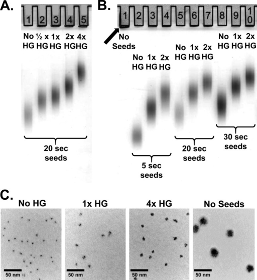 Polyacrylamide gradientgel electrophoresis and TEM images of theproducts of the add-on procedure with different mixtures of seedsand HG. (A) Lane 1, 20 s seeds without HG (no HG); lanes 2–5,the products obtained after add-on reactions with 20 s seeds in thepresence of 1/2×, 1×, 2×, and 4× HG. (B) Lane1, the products of the add-on reaction with HG in the absence of seeds(No Seeds); lanes 2–4, 5–7, and 8–10, the productsobtained with 5, 20, and 30 s seeds after add-on reactions with noHG, 1×, and 2× HG. Note that the overall sizes of the oligoclustersincrease in proportion both to the sizes of the seeds and to the amountof HG. (C) TEM images of 30 s seeds without HG (no HG) and of theproducts of the add-on reaction in the presence of 1× HG and4× HG, and with HG without added seeds (No Seeds). The blackarrow points to oligoclusters that are too large to enter the gel.