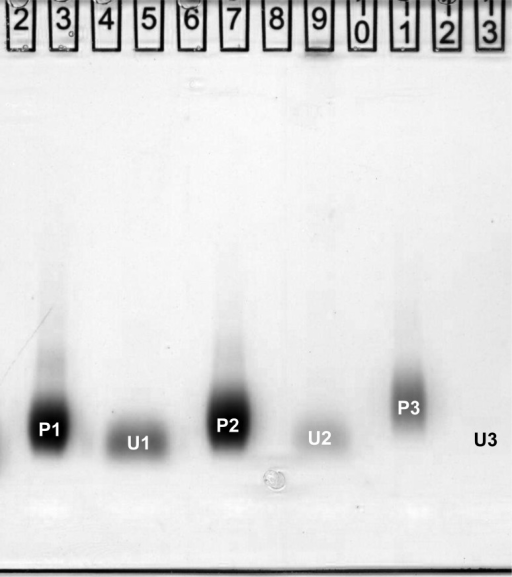 Urinary excretion ofsmall injected oligoclusters. Gradient gelelectrophoresis of three oligocluster preparations (P1, P2, and P3)made with delay times of 1, 2, and 5 s and derivatized with GSH. Approximately5 min after injecting the preparations intravenously into mice, urinesamples were collected from their bladders, processed as describedin the Experimental Section, and run (as U1,U2, and U3) alongside samples of the corresponding injected material.