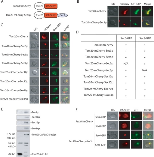 Ectopic targeting of the exocyst to mitochondria and peroxisomes. (A) The Tom20-mCherry and Tom20-mCherry-Sec3p fusions. See Materials and Methods for the construction of the plasmids. (B) Colocalization of Tom20-mCherry and Tom20-mCherry-Sec3p with Cit1-GFP, a marker protein for yeast mitochondria. (C) Sec8-GFP is recruited to mitochondria in cells expressing Tom20-mCherry–tagged exocyst subunits Sec3p, Sec5p, Sec6p, Sec10p, Sec15p, and Exo84p but not Exo70p. (D) Summary of Sec6-GFP and Sec8-GFP localization in cells expressing Tom20-mCherry–tagged exocyst subunits. +, located to mitochondria; –, not located to mitochondria; N/A, not applicable. (E) The exocyst complex is assembled at mitochondria in cells expressing Tom20-2xFLAG-Sec3p. Cells expressing Tom20-2xFLAG was used as a negative control. The exocyst complex was immunoprecipitated using the anti-FLAG antibody and the exocyst subunits (Sec6p, Sec10p, Sec15p, and Exo84p) coimmunoprecipitated with Tom20-2xFLAG-Sec3p. Molecular weights (in kilodaltons) are indicated to the left. (F) The exocyst can be ectopically targeted to peroxisomes. Sec6-GFP and Sec8-GFP were targeted to peroxisomes in cells expressing Pex3N-mCherry-Sec3p but not Pex3N-mCherry.
