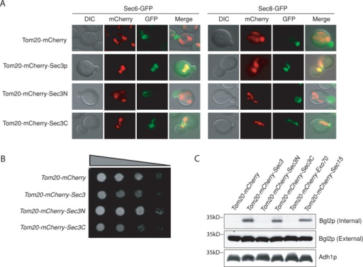 Ectopic expression of Sec3p is required for exocyst targeting and assembly at mitochondria. (A) Sec6-GFP and Sec8-GFP can be recruited to mitochondria in cells expressing Tom20-mCherry tagged Sec3C (amino acids [aa] 321–1336) but not Sec3N (aa 1–320). (B) Cells expressing Tom20-mCherry-Sec3p or -Sec3C grew more slowly than cells expressing Tom20-mCherry-Sec3N on a synthetic complete plate at 25°C. (C) Cells expressing Tom20-mCherry-Sec3 or -Sec3C showed accumulation of Bgl2p inside the cells as detected by Western blotting. Adh1p was used as a loading control. Molecular weights (in kilodaltons) are indicated to the left.