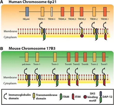 The TREM gene cluster in mice and humans. Schematic diagram that compares the order of genes in the TREM clusters in humans (A) and mice (B). Genes encoding TREM protein were drawn in orange, whereas TREM-like genes are depicted in red. Models of the encoded proteins are shown below the corresponding genes. The DAP12 adaptor is also shown with its ITAM. TLT proteins are shown with the corresponding ITIM.
