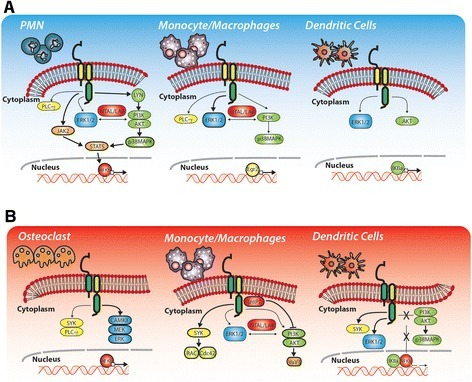 TREM-1 and TREM-2 signaling. Overview of the main intracellular mediators activated by TREM-1 (A) and TREM-2 (B), in order to elicit downstream signaling. Depending on the cell-type involved, TREM-1 or TREM-2 ligation might activate different cytoplasmic adaptors, producing different outcomes.